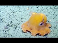 Watch more 'Cephalopods' videos on Know Your Meme!