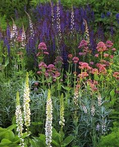 Verbascum in foreground with valerian and sage with perhaps some delphiniums poking through.