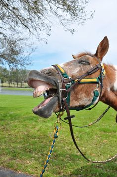 horses are so elagent and beautiful.until they yawn tgwn theyr just funny! Trail Riding Horses, Horse Photography, Horse Stuff, Rodeo, Beautiful Creatures, Equestrian, Ireland, Humor, Funny