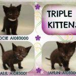 TRIPLE J KITTENS – A1083000, A1083001, A1083002