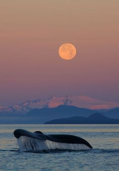 """«Baleine à bosse au lever du soleil avec la pleine lune"""" réserve forestière de l'Alaska, par Ron Niebrugge."""
