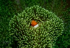 Anemone fish - Anemone fish on a green soft coral.