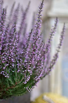 Calluna vulgaris .. and ericas ... more info on the two here: http://www.bhg.com/gardening/trees-shrubs-vines/shrubs/growing-heathers-and-heaths/