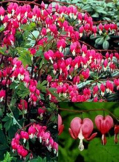 Bleeding Heart ~ Dicentra Spectabilis...every garden should have at least one!  Simply Beautiful !