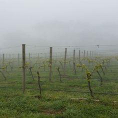 Vines in the fog... who would have thought it was Spring.... . #vineyard #portarlington #bellarinepeninsula #geelong #visitvictoria #landscape #nature #fog #ourgeelongbellarine #foggy #winery #wanderlust #travel #exploring #trekking #touring #ig_australia #seeaustralia #australiagram #downunder #instagood #instatravel #beautiful by adri_fal http://ift.tt/1JO3Y6G