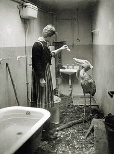Berlin Zoo during World War II, This Shoebill was temporarily housed in his nurse's bathroom during the final stages of the conflict. Old Pictures, Old Photos, 1940s Photos, Potnia Theron, Shoebill Stork, Arte Obscura, Zoo Animals, Cutest Animals, Wild Animals