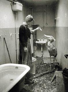 Shoebill que vivía en el zoo de Berlín, se aloja temporalmente en el baño de su cuidadora durante las etapas finales de La Segunda Guerra Mundial.