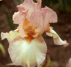 Tall Bearded Iris Flowers | Flowers/Plants - Spring / Sterling Mistress Tall Bearded Iris