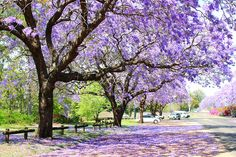 <3!  (either trees covered in wisteria vines or, more likely, paulawnia trees...named after a russian princess)