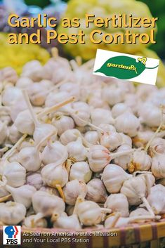 Garlic is an excellent fertilizer for your garden as well as a non-toxic pesticide because it's a natural fungicidal that work to control pests and is pet safe.