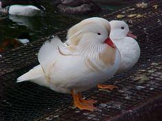 White Mandarin Ducks