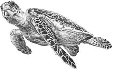 Sea Turtle Art Print