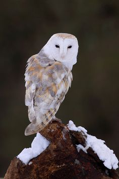A captive barn owl photographed on the last day of the snow near Thirsk. I kept it simple and used a snow covered perch and shot towards the shady woodland edge.   www.naturephotographycourses.co.uk