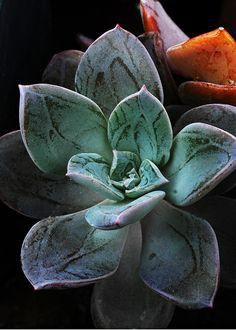 Echeveria westii. Gorgeous image...