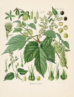 Hops - Humulus lupulus - Hop - - Fine art print of a vintage botanical natural history antique illustration Vintage Art Prints, Vintage Artwork, Fine Art Prints, Illustration Botanique, Botanical Illustration, Hops Plant, Carl Friedrich, Herb Art, Impressions Botaniques