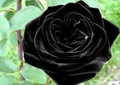 Black Rose Flower (10 Seeds)