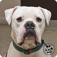 American Bulldog Mix Dog for adoption in Troy, Ohio - Teddy