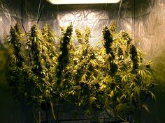 Another shot of those two main-lined cannabis plants Cannabis Growing, Cannabis Plant, Weed Plants, Potted Plants, Medical Cannabis, Cool Plants, Harvest, Maine, Corner
