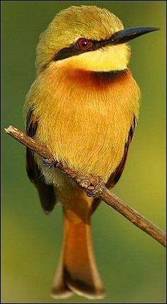 Little Bee-eater (Merops pusillus) by Nigel Blake