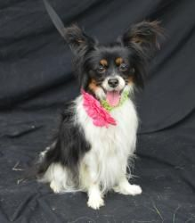 Maggie-HSCCL is an adoptable Papillon Dog in Plano, TX.  This dog is available to rescue, foster or adopt. If you are interested in this animal, please begin by filling out our online application whi...