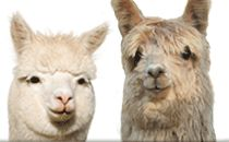 The official website of the Alpacas Owners and Breeders Association. Everything you need to know about alpacas, fiber and fashion.