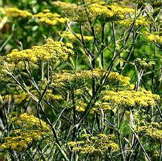 Bronzen Venkel 'Rubrum' (Foeniculum vulgare 'Rubrum') bloeit van juli tot augustus met lichtgele schermen. De plant houdt van zon en wordt 150 cm hoog. Ze kan gebruikt worden in de keuken, als snijbloem, en het is een bijen- en vlinderplant. Bovendien is ze heel decoratief en zaait zich(te) rijkelijk uit wanneer je de decoratieve uitgebloeide bloemschermen de hele winter laat staan.  Zelf gebruik ik het fijne blad in salades. Plant je ze niet voor jezelf, doe het dan voor de Koninginnenpage!