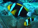 Great Barrier Reef Diving jigsaw puzzle in Under the Sea puzzles on TheJigsawPuzzles.com