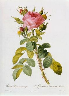 REDOUTÉ, Pierre-Joseph  French painter and botanist (b. 1759, Saint-Hubert, d. 1840, Paris)  Rosa Bifera Macrocarpa1811Coloured engravingMuséum National d'Histoire Naturelle, Paris
