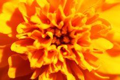 Close Up Marigold Photograph