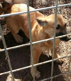 Meet Buster Brown, a Petfinder adoptable Shepherd Dog | Cordova, AL | Buster Brown is an adorable little guy  Friendly and sweet.  He is 9 months old and will be a...