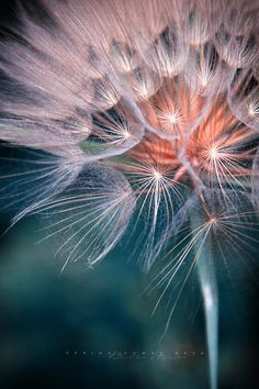 Photographic Art :: Dandelion Peacock