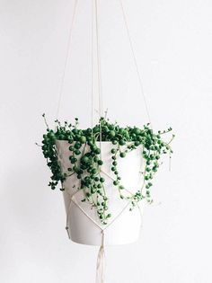 A fun and easy succulent to grow indoors, the string of pearls (Senecio rowleyanus) plant is a gem. This amazing house plant can create an interesting focal point in any home or office. Ideal in a hanger and pot combo. Ready to hang with you today.Incudes: Hanger, Pot