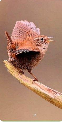 Chochín común – Eurasian Wren – Zaunkönig – Troglodyte mignon - Top Of The World Pretty Birds, Love Birds, Beautiful Birds, Animals Beautiful, Small Birds, Little Birds, Colorful Birds, Funny Bird, Animals And Pets
