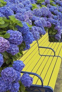 Blue hydrangea flowers & yellow bench