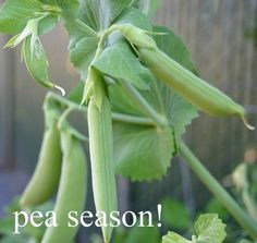 its pea season! learn how easy it is to grow peas!