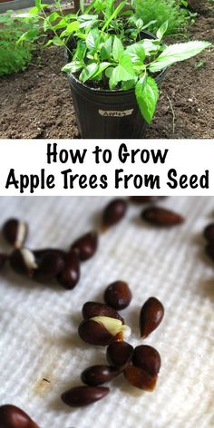 Growing Vegetables Growing Apple Trees from Seed ~ Growing apple trees from seed is easy, if you know the trick to breaking apple seed dormancy before planting. - Apple seeds are easy to grow at home with the proper preparation, and seedlings are Growing Apple Trees, Growing Tree, Planting Apple Trees, Planting Flowers, Organic Gardening, Gardening Tips, Vegetable Gardening, Vintage Gardening, Gardening From Seeds