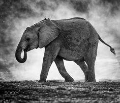 Isolation - A young elephant, Mashatu, Botswana.
