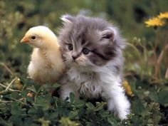 Things that make you go AWW! Like puppies, bunnies, babies, and so on. A place for really cute pictures and videos! Cute Kittens, Kittens And Puppies, Cats And Kittens, Baby Kittens, Kitty Cats, Ragdoll Kittens, Tabby Cats, Bengal Cats, Baby Dogs