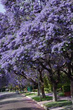 Jacaranda trees..... - Pixdaus