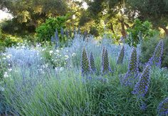 Monochromatic purple garden - Lavender, Pride of Madeira (Echium Fastuosum), Russian Sage (Perovskia atriplicifolia) Purple Garden, Colorful Garden, Lavender Garden, Lavender Flowers, Landscape Design, Garden Design, California Garden, Ojai California, Irvine California