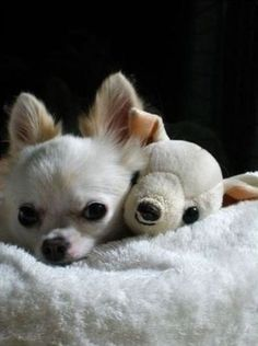 I have one of each of these...a small white chihuahua and a small white stuffed chihuahua #dogs #animal #chihuahua