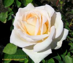 Jardins de Bagatelle - hybrid tea rose with a heavenly fragrance - It was at the Russian River Rose Co. but I have been unable to buy it anywhere! Leads appreciated. #gardening #roses