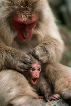 A week-old monkey makes its delight known as its mum gives it a grooming head massage. The young Japanese macaque sheltered close to its caring mum as she helped keep it clean at Jigokudani Hot Springs in Nagano Prefecture, Japan