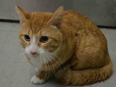 Pulled by Staten Island Hope Rescue* NYC TO BE DESTROYED 05/01/15 NELSON solicits attention at the front of the cage but he puts his teeth on but not enough to break skin, he also uses his paws to grab the assessor's hand but does not use nails. Looks at you, is calm, relaxed & friendly. When spoken to comes soliciting, rubbing against front . ID #A1034419. Male org tabby & white about 2 YEARS STRAY