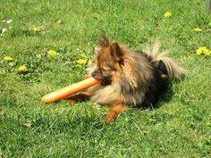 so ein kleiner Hund mit sooo einer großen Wurzel ....