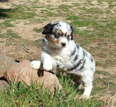 Mini Australian Shepherd-Adorable!