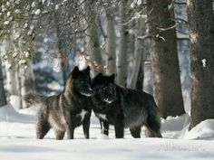 Black Gray Wolves in a Curious and Playful Stance Photographic Print by Jim And Jamie Dutcher at AllPosters.com