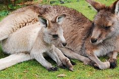 During kangaroo care, a premature baby's overall growth rate increases. Read more…. Kangaroo Care: Why Does It Work? Joey Kangaroo, Kangaroo Care, Kangaroo Pouch, Kangaroo Island, Baby Joey, Unicorn Photos, Dream Meanings, Animal Jam, Australian Animals