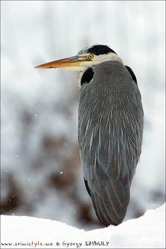 Bird 009: ಬೂದು  ಕೊಕ್ಕರೆ/Grey Heron (Ardea cinerea). Photo by György Szimuly. More Info: http://en.wikipedia.org/wiki/Grey_Heron