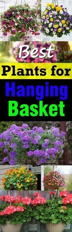 Learn about the Best Plants For Hanging Baskets. Hanging baskets filled with colorful flowers and plants are very showy and elegant and adorn any garden. You don't need a lot of space to display them, too! #containergardeningideashangingbaskets #hanginggardens